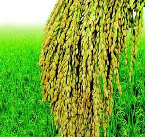 韩育出防贫血新水稻