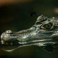 藏头露尾的鳄鱼